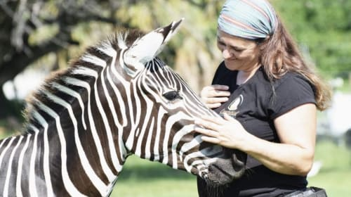 Meeting Stripes the Zebra