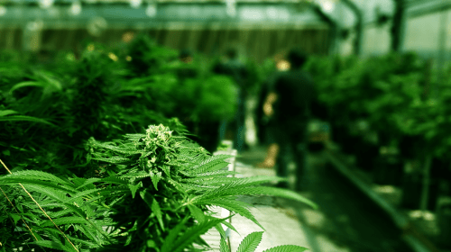 Cannabis Industry and Ancillary Economic Benefits in US