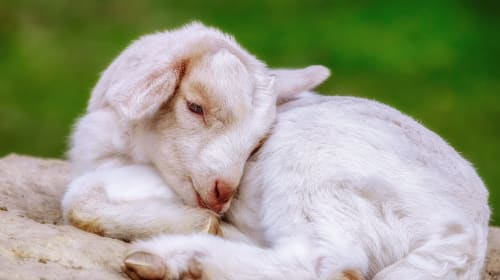 Everything I Ever Knew About Taking Care of Babies I Learned from My Pet Goat