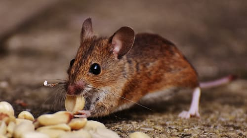 Why Pests Are Dangerous for Your Home and Health?