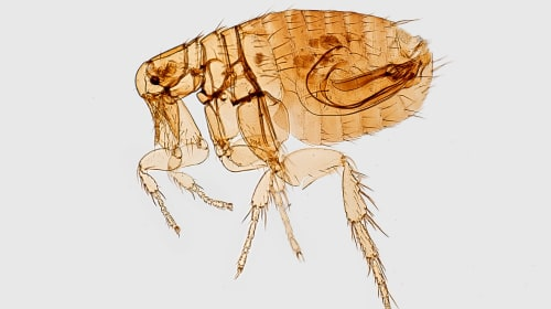 The Best Home Remedies to Safely Eliminate Fleas
