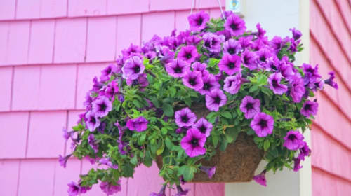 6 Most Spectacular Flowers For Hanging Baskets