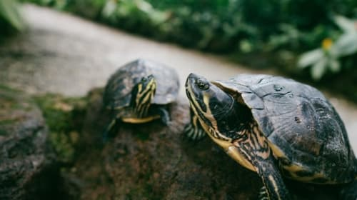 Turtle Pace
