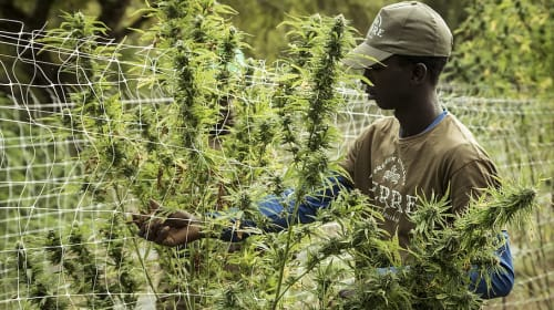 Misconceptions about Marijuana Production That We Shouldn't Ignore