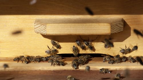 Wood Destroying Insects: Carpenter Ants, Bees, & Termites