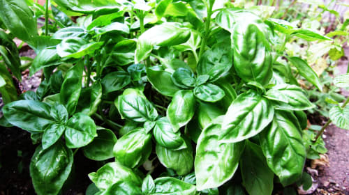Basil and its Health Benefits