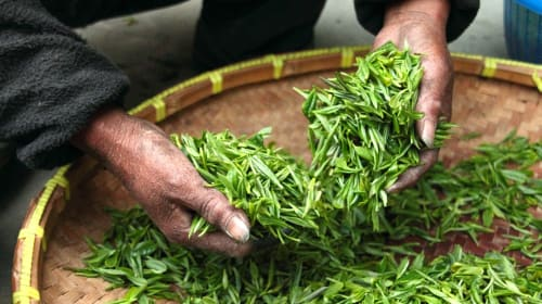 Green Tea: Can You Lose Weight With It?