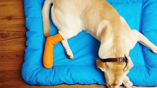 How Should I Care for My Dog After ACL Surgery?
