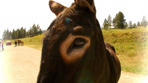 The Wild Donkeys of Iron Mountain, Black Hills