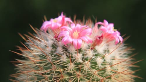 The Beautiful Side of the Cactus
