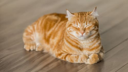 Advantages and Disadvantages of Indoor Cats