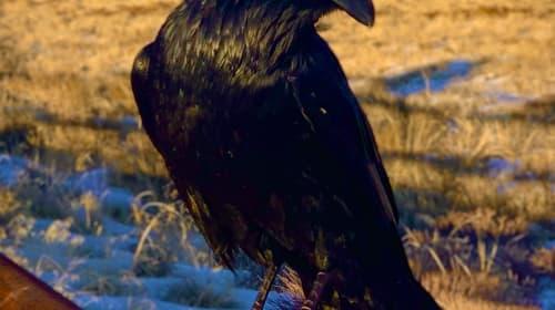 Dear Raven