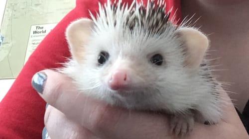 A Hedgehog for a Pet?