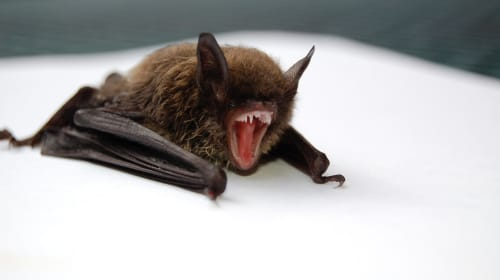 Six New Coronaviruses Discovered in Bats