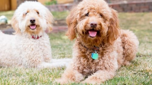 Golden doodle's Compiled Information for Dog Parents