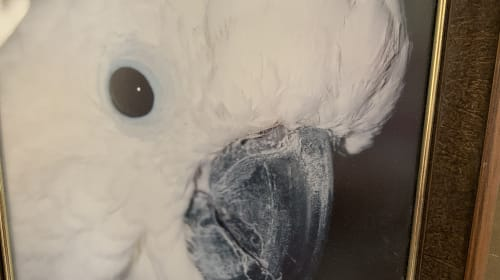 Todi Cockatoo