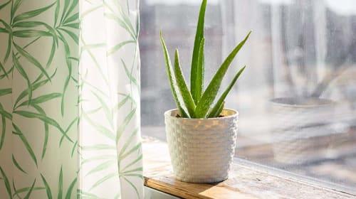 Growing Aloe Vera
