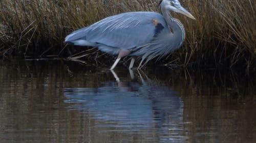 Great Blue Heron On Assateague