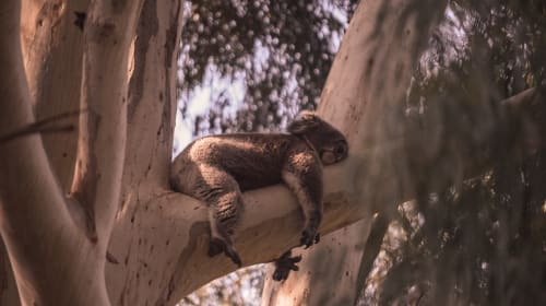 It's a koala's life in South Australia
