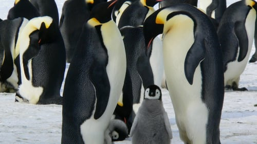 Penguins contribute a lot to Climate Change
