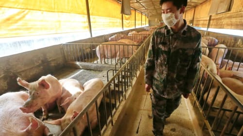 New Swine Flu Virus with Pandemic Potential found in China