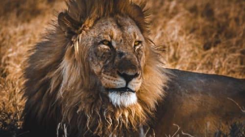 What Happens When You Pet a Lion [Videos]