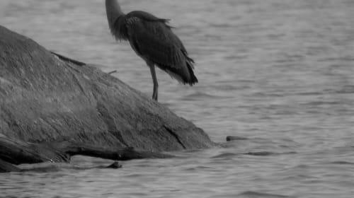 Blue Heron Gone Grey