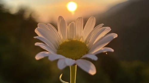 A blossoming daisy