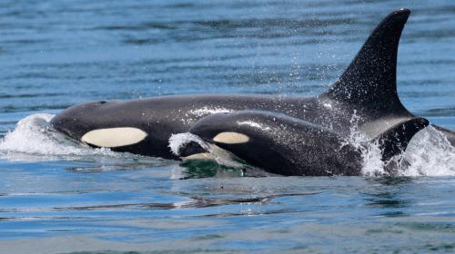 Cetacean Breeding Bans