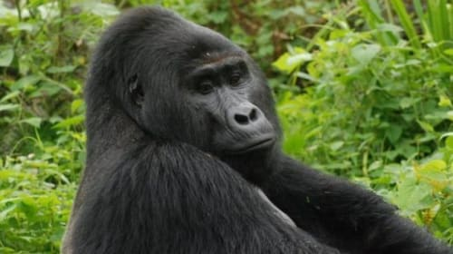 Eleven years in prison for the hunter who killed a popular gorilla in Africa