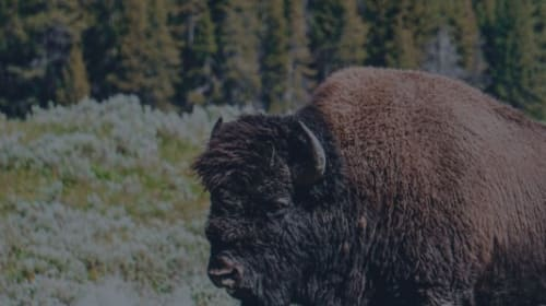 What to Do If You Spot a Bison