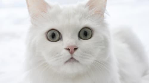 TikToking Cat: @cocopangpang