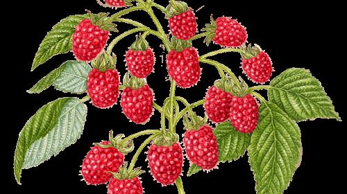Raspberry Sativa Enhanced Gummies by Wyld