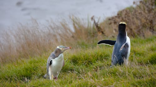 Meeting the Yellow Eyed Penguin