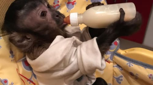 Is a Monkey a Valid Choice For a Pet?