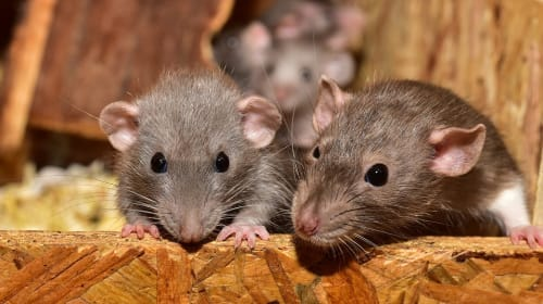 RATS: Why They Are Awesome and Why Stereotypes About Them Are Wrong
