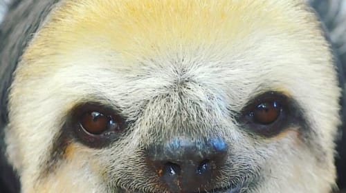 One of the Cutest Animals in Costa Rica. . The Two-toed & Three-toed Sloth