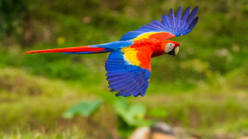 """One of Costa Rica's Most Beautiful Birds. . the Scarlet Macaw or """"Lapas Rojas""""!"""