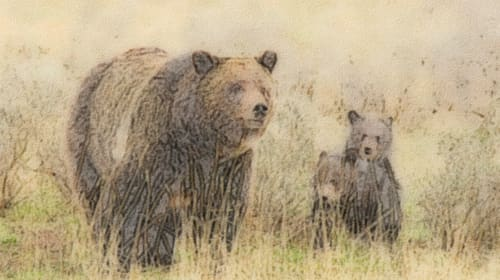 My Grizzly Bear Story