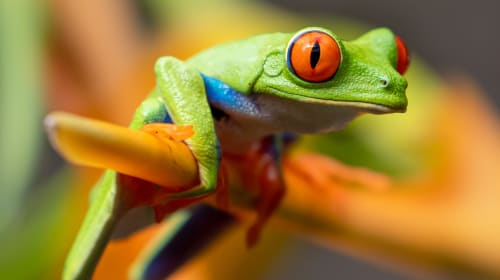 Mother Nature & Her Red-eyed Tree Frog Here in Costa Rica!