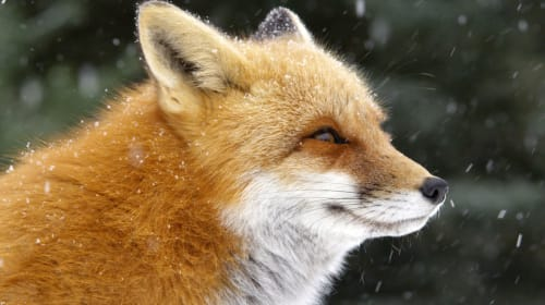Is a Fox a Cat or a Dog?