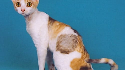 Devon Rex – What to Expect When You Go Rexy