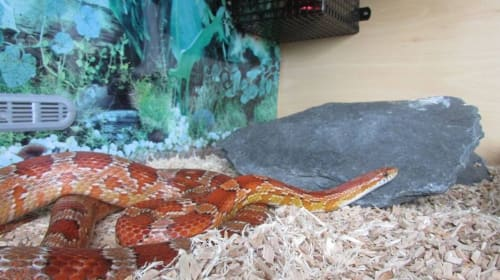 Caring for Corn Snakes