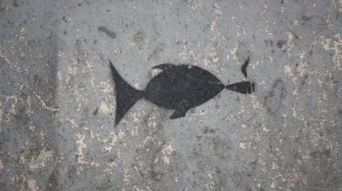 Growing Marijuana in Fish Emulsion Fertilizer