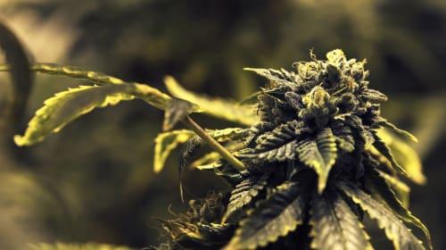 Oaxacan Marijuana