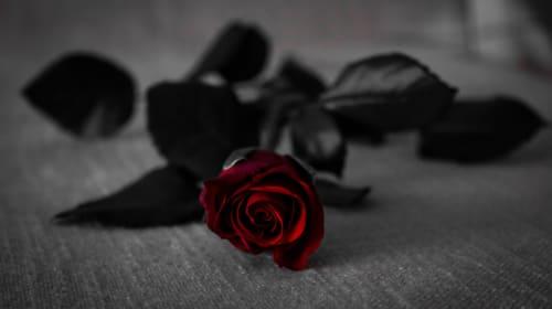 A Rose for Mia Cara