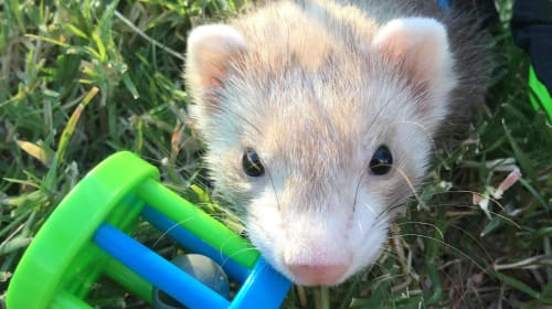 Baby Ferrets and What You Need to Know