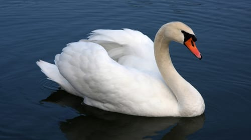 What Is a Swan Song?