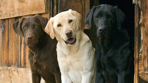 Most Popular Dog Breeds for Families