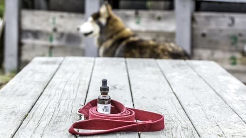 CBD Pain Relief for Dogs: What You Need to Know